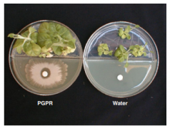 Dynamic Chemical Communication between Plants and Bacteria t
